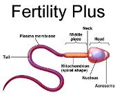 increase sperm count by as much as 500 percent